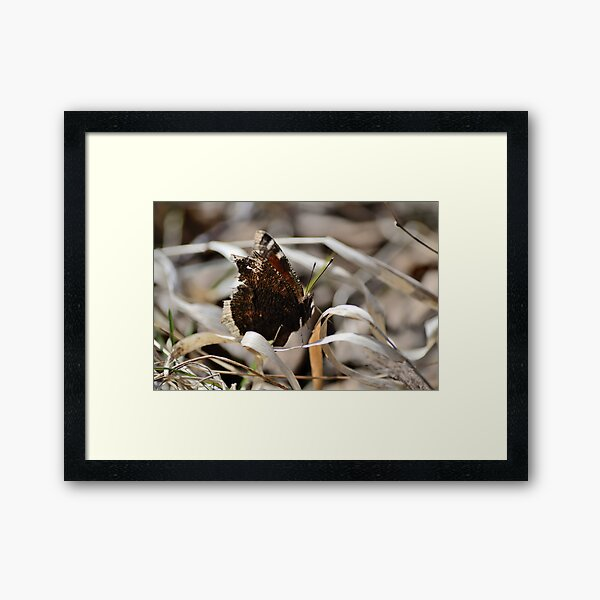 Mourning Cloak butterfly on dry grass Framed Art Print