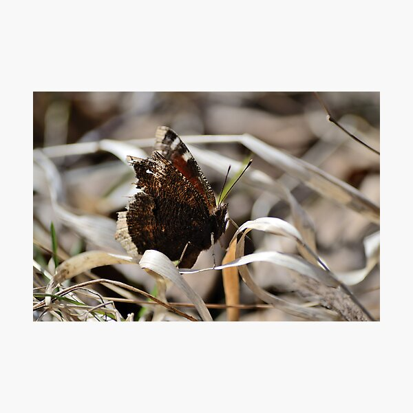 Mourning Cloak butterfly on dry grass Photographic Print