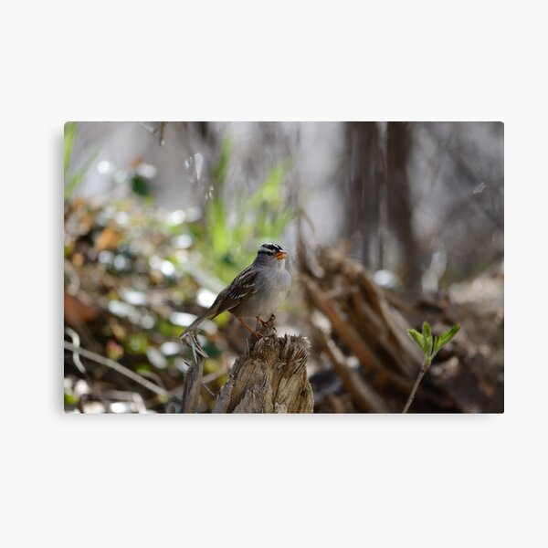 White-crowned sparrow singing Canvas Print