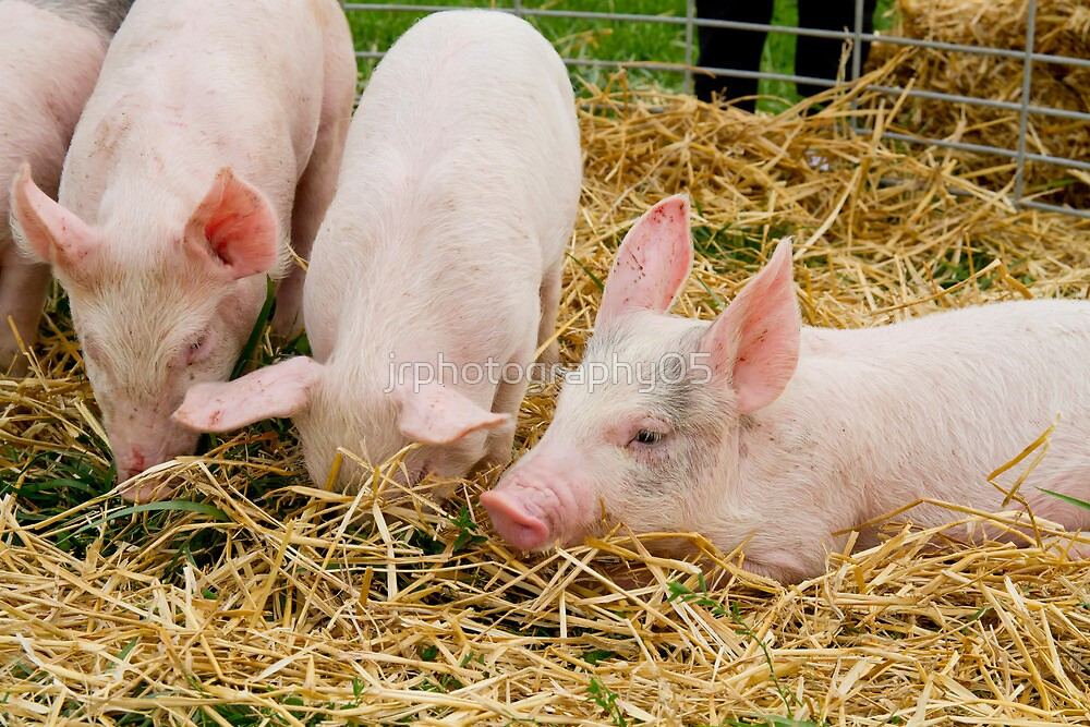 Three Little Pigs by jrphotography05
