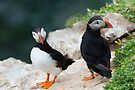 Puffins, Saltee Island, County Wexford, Ireland by Andrew Jones