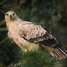 Tawny Eagle by Patricia Jacobs DPAGB BPE4
