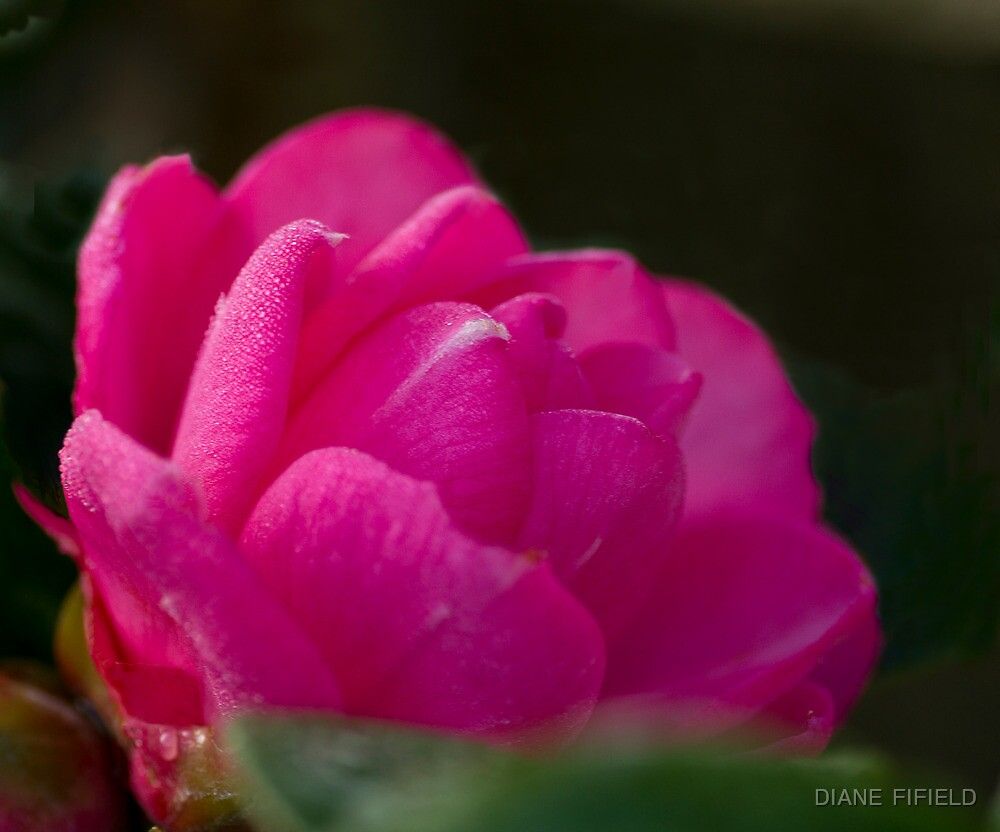 Camellia in the frost  by DIANE  FIFIELD
