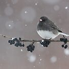Dark-eyed Junco by (Tallow) Dave  Van de Laar