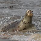 Atlantic Grey Seal by Patricia Jacobs DPAGB BPE4