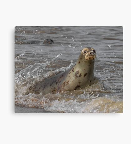Atlantic Grey Seal Canvas Print