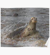 Atlantic Grey Seal Poster