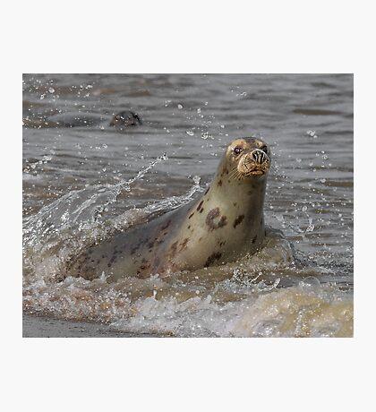 Atlantic Grey Seal Photographic Print