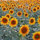 Sunflowers in Sarkoy,TURKEY. by rasim1