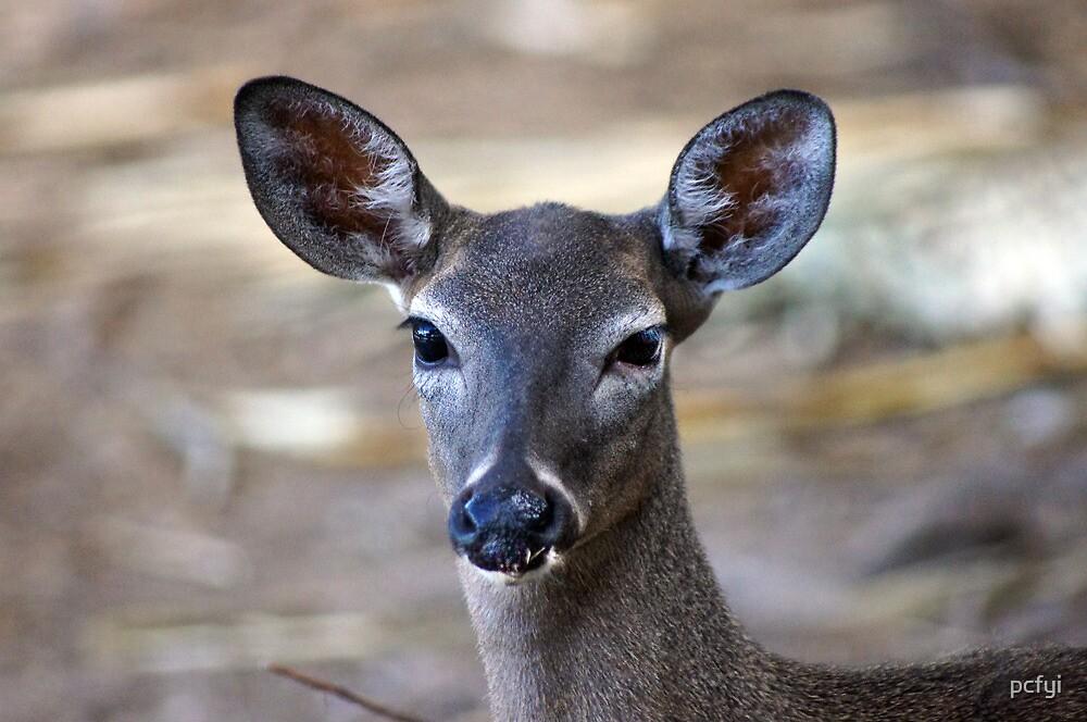 Deer C by pcfyi