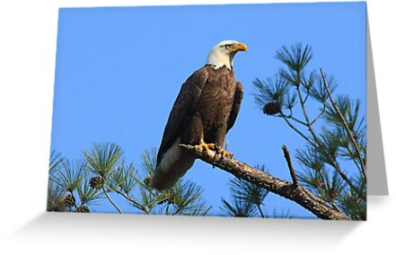 Bald Eagle, Jordan Lake, NC by Denise Worden
