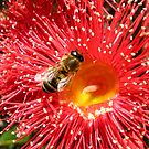 Bee on a red Gum Flower by DPalmer