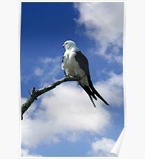 SWALLOW TAILED KITE Poster