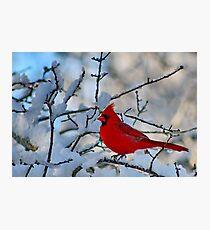 Cardinal After the Snowstorm Photographic Print
