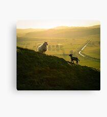 Scottish Sheep and Lamb Canvas Print