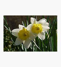 Daffodil Pair Photographic Print