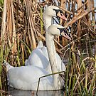 Swans in the Reeds  by David Patterson
