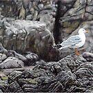 Seagull of Yamba by ZiyaEris