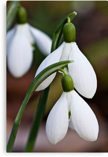 Snowdrops in February by vivsworld