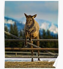 Elk Cow Jumping Poster
