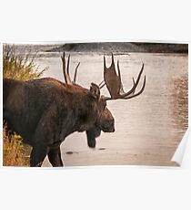 Bull Moose at the Snake River Poster