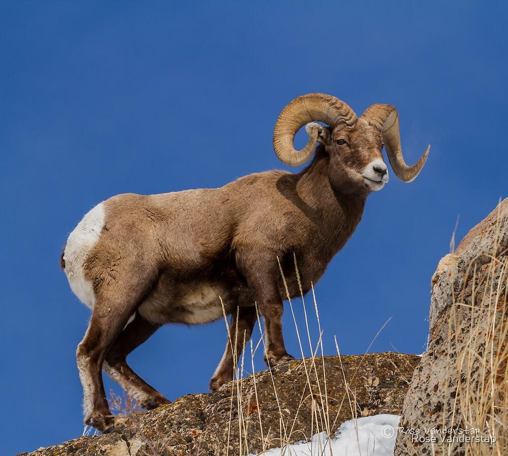 Big Horn Sheep Ram by Rose Vanderstap