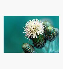Blue Thistle Photographic Print