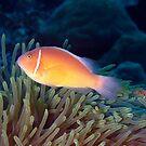 Pink Anenome Fish Christmas Island by Sean Elliott