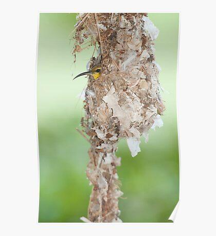 Tucked Up - sunbird nesting in far north Queensland Poster