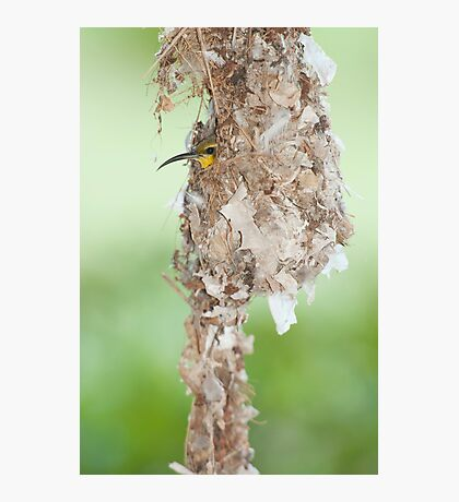 Tucked Up - sunbird nesting in far north Queensland Photographic Print