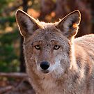 fox by nicko22