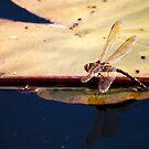 Dragonfly by liza1880
