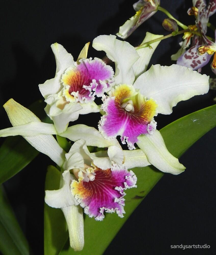 Cattleya Orchids by sandysartstudio