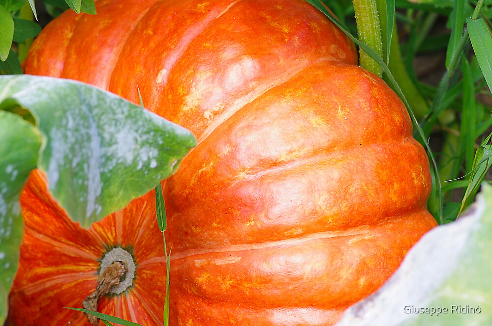 In my garden: orange pumkin by Giuseppe Ridinò