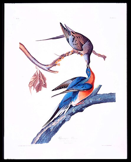 First American West  The Ohio River Valley, 1750-1820 - passanger pigeon by MotionAge Media