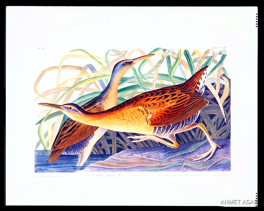 Great Red-breasted Rail or Fresh-water Marsh Hen by MotionAge Media