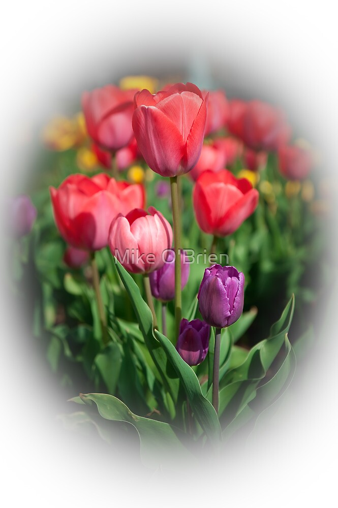 Tulips #3 by Mike O'Brien