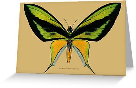 Male Paradise Birdwing Butterfly by Walter Colvin