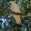 Australian Cockatoo by Jennifer Standing