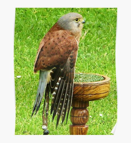 Common Kestrel ~ Uncommonly Relaxed... Poster