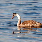 The Ugly Duckling by imagic