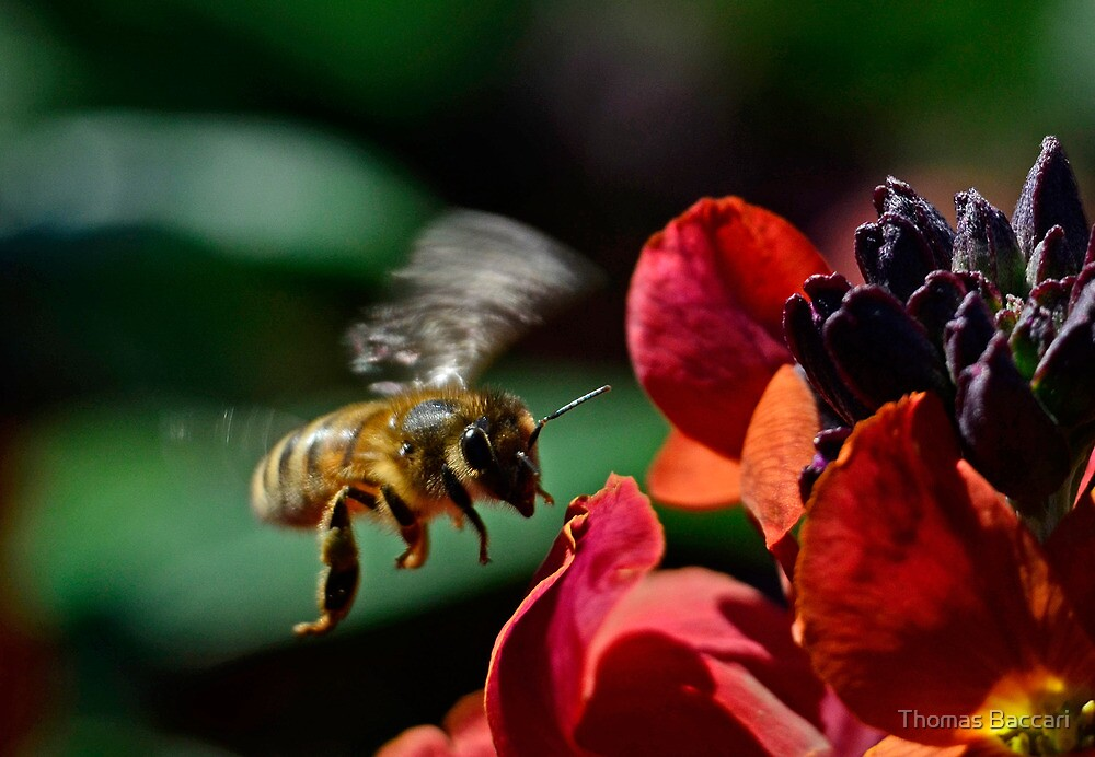 As the Bee Approaches the Flowers by TJ Baccari Photography