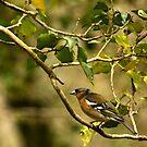 Chaffinch in Tree by Jennifer Standing