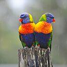 Rainbow Lorikeets cuddling up in the rain. Brisbane, Queensland, Australia. by Ralph de Zilva