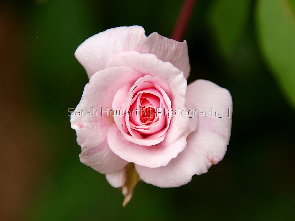 Pink Rose by Sarah Howarth [ Photography ]