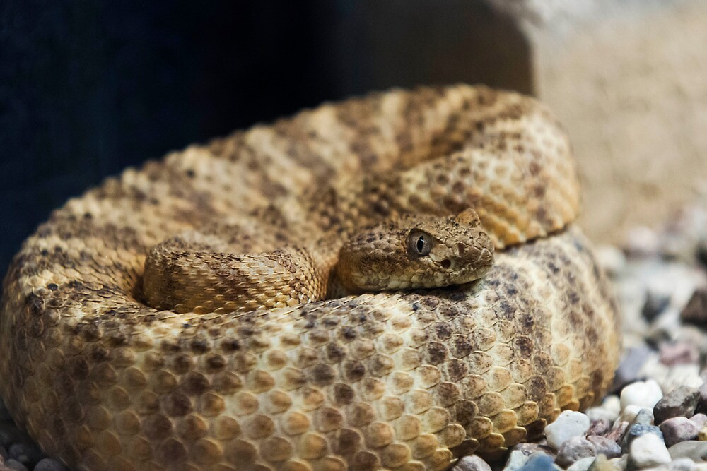 Tiger Rattlesnake by Ray Chiarello