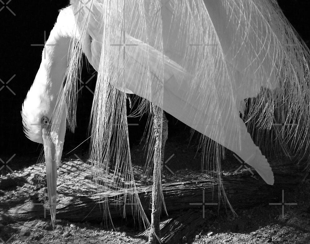 White Egret by CarolM