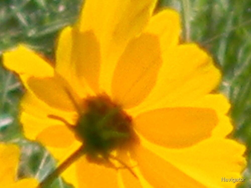 Coreopsis Magnified by Navigator