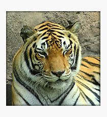 Winking Tiger Photographic Print