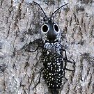 Eyed Click Beetle by Kathy Baccari